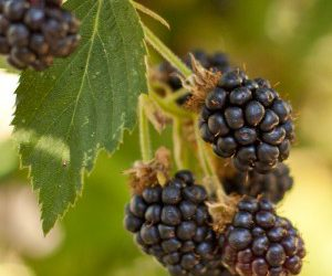 Rubus Fruticosus – Black Satin Thornless Blackberry