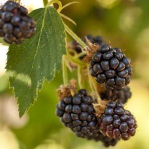 Rubus Fruticosus – Black Satin Thornless Blackberry